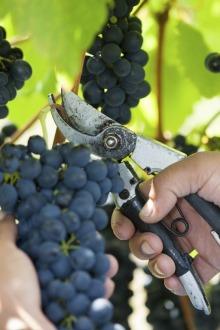 hand-harvesting-grapes.jpg